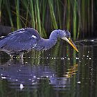 Heron fishing by Richard Bowler