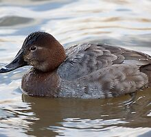 Female Pochard by Gill Langridge