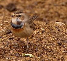 Little Poser - Bluethroat by NicoleBPhotos