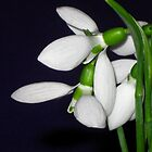 The first snowdrops by Maria1606
