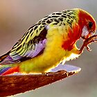 Eastern Rosella by Tainia Finlay