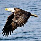 Bald Eagle in Flight  by lanebrain photography