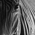 Striking Stripes - Zebra Portrait by George Wheelhouse