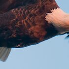 """Streamlined"" - bald eagle flying panaramic by John Hartung"