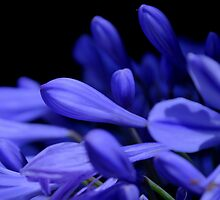 Agapanthus Blues by Lozzar Flowers & Art