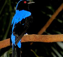 I'm So Beautiful  (Asian Fairy Bluebird) by Robert Miesner