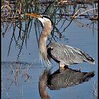 Great Blue Heron by mimsjodi