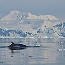 Minke Whale, Antarctic by Neville Jones