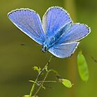 Common blue butterfly by Richard Bowler