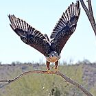 Ferruginous Hawk Take -Off  by Judy Grant