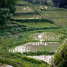 Chiang Mai Rice Paddies by phil decocco
