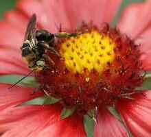 Bee on Firewheel by crystalseye
