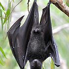 Flasher the Flyingfox. by Alwyn Simple