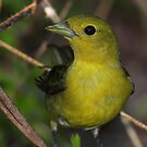 Scarlet Tanager Female by naturalnomad
