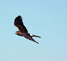 Northern Harrier by Gail Falcon