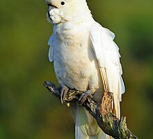Sulphur Crested Cockatoo. Brisbane, Queensland, Australia. by Ralph de Zilva