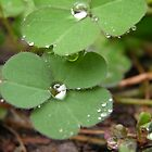 Clovers after Rain by Elias Martinez