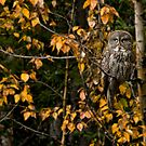 Great Grey Owl by Kerri Gallagher