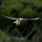 White Tailed Kite In Flight by DARRIN ALDRIDGE