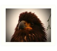 Young Bald Eagle ll Art Print