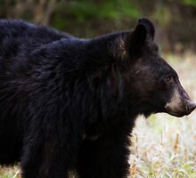 Baldy the Bear by EchoNorth