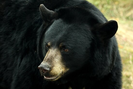 Black Bear by Mark Hughes