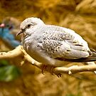 Baby Diamond Dove by Jan Cartwright