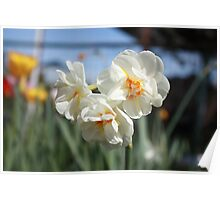 Paperwhite Daffodils in Early Spring Poster