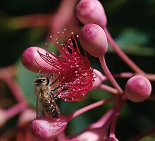 Bee on Red Flowering Gum by Alicia  Liliana