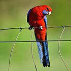 Crimson Rosella in our back paddock. Brisbane, Queensland, Australia. by Ralph de Zilva