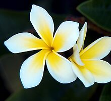 Plumeria - - Cards, iPhone & iPad Cases by Maria A. Barnowl