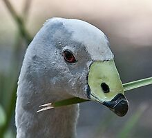 Cape Barren Goose by Tom Newman