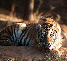 Tiger cleaning himself by Rene Fuller