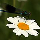 The Damselfly and Daisy by Mark Hughes