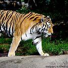 Siberian Tiger by Pietrina Elena