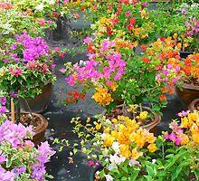 colorful bougainvillea by supergold