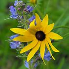 Black-eyed Susan- Rudbeckia hirta and  Common Viper's Bugloss- Echium vulgare by Tracy Faught
