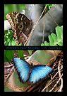 Butterfly (South America) ~ Peleides Blue Morpho by Kimberly Chadwick