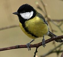 Great Tit by Mark Hughes