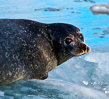 Seal at Jokulsarlon, Iceland. by RonniHauks