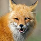 Red Fox Portrait 1 by kurtbowmanphoto
