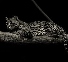 Predator of the Night (Ocelot) by Robert Miesner