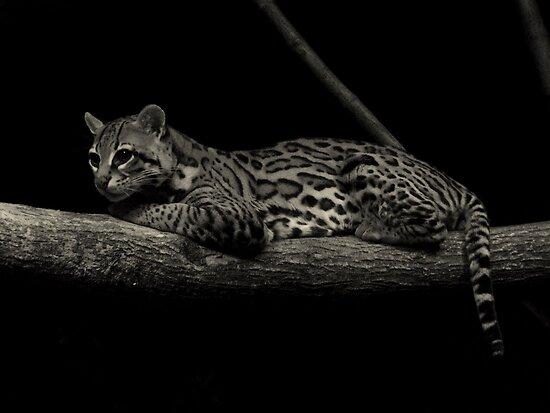 Predator of the Night (Ocelot) by Robert Miesner