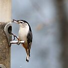 Hungry Whitebreasted Nuthatch(Sitta carolinensis) by SharonLMadison