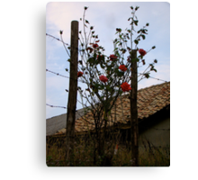 Barbe Wire Roses Canvas Print