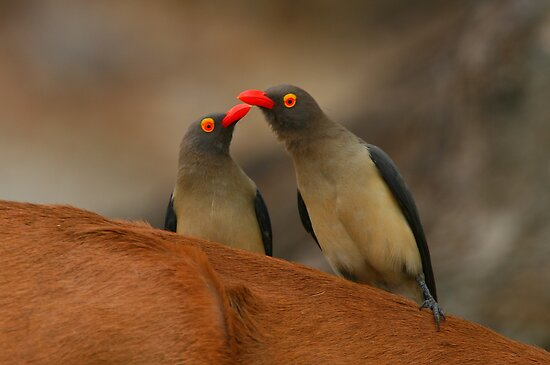 Red-billed Oxpeckers by naturalnomad