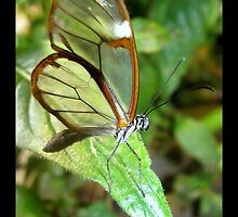 Butterfly (S. America, Costa Rica) ~ Glasswing by Kimberly Chadwick