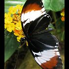 Butterfly (S. America) ~ H. heurppa Longwing by Kimberly P-Chadwick