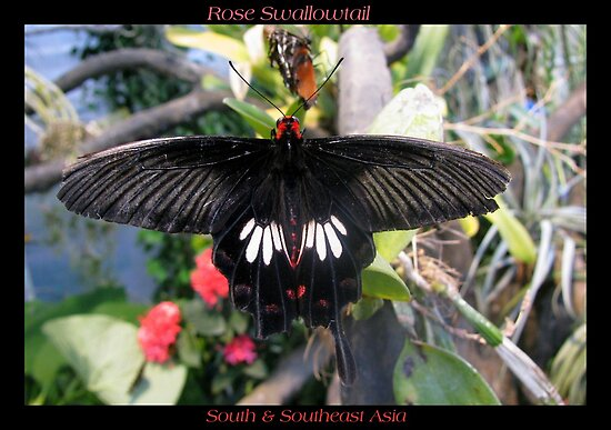 Butterfly (Asia) ~ Rose Swallowtail by Kimberly Chadwick