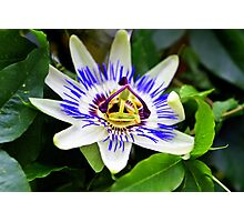 Passion flower at Chico Hot Springs, Montana Photographic Print
